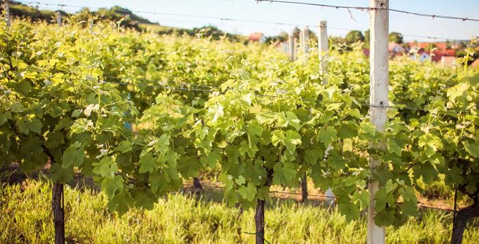 Ilha da Madeira - Vinho